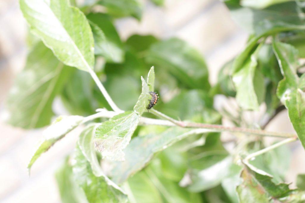 larve-lieveheersbeestje